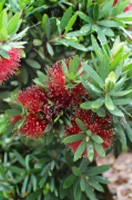 Callistemon Better John