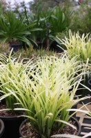 Liriope Pure Blond